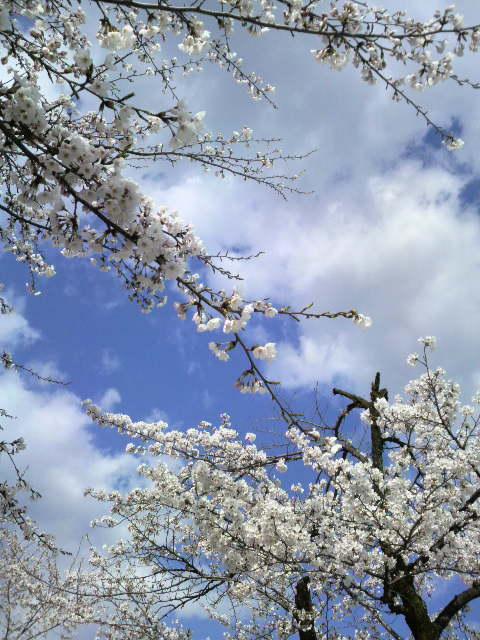 4/17桜